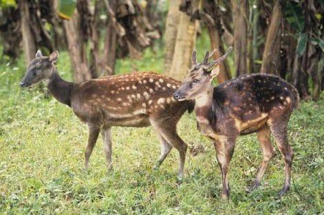 Cervus alfredi: Philippine spotted deer © Yds Dup
